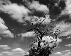 La tentation du monochrome (François Tomasi) Tags: yahoo flickr google françoistomasi tree noiretblanc blackandwhite reflex nikon pointdevue pointofview pov lights light lumière branches branche photo photography photographie photoshop filtre traitement numérique digital composition ciel sky clouds cloud nuages nuage août 2017