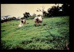Sutairosantus And Livestock Productivty = スタイロサンタスと牛の生産性