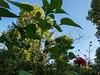 Sunflowers, zinnia and verbena bonariensis (Elise de Korte) Tags: fr france frankrijk ldf lafrance bloei bloeien bloem bloemen campagne country fleur fleurs flower flowering flowers garden groentetuin jardin moestuin plant platteland potager sunflower tournesol tuin vegetablegarden veggiegarden verbenabonariensis zinnia zonnebloem