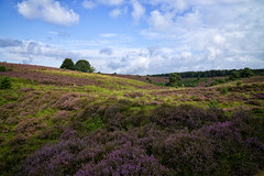 Blooming Heather at the National Park 'De Veluwezoom', The Netherlands (Mark Blankvoort) Tags: veluwe posbank travel netherlands veluwezoom np nationalpark nature landscape heather holland natuurmonumenten