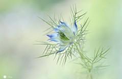 In a mist! (Trayc99) Tags: loveinamist flower beautiful macro beautyinnature beautyinmacro closeup decorative delicate depthoffield blue softbackground