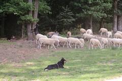 Flock of sheep/Tirage de mouton (RW-V) Tags: canoneos70d canonef50mmf14usm hoogbuurlo radiokootwijk apeldoorn sheep sheepdogs flock schaapskooi schaapskooihoogbuurlo nature natuur natur dog hund chien moutons schafen schapen goat geit chèvre ziege sooc 100faves 120faves 150faves 175faves 200faves 225faves 250faves 275faves