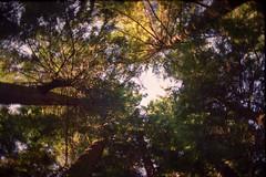Tall trees ... staring me down (pmvarsa) Tags: vancouver bc britishcolumbia capilano suspension bridge park 1998 summer film kodak gold kodakgold200 135 35mm analog nature sky trees green outside canon ftb fd cans2s classic camera hiking nikonsupercoolscan9000ed nikon coolscan tall lookingup shadow