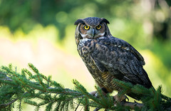 Great Horned Owl (rmikulec) Tags: great horned nature photography sony fe 100400 lens
