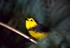 Collared Whitestart (Myioborus torquatus) (berniedup) Tags: monteverde cloudforest costarica collaredwhitestart myioborustorquatus taxonomy:binomial=myioborustorquatus