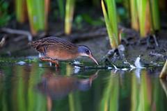 Virginia Rail (Thy Photography) Tags: virginiarail nature bird rail wildlife photography outdoor california backyard