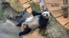 Giant Panda, Ouwehands Dierenpark, Rhenen, Netherlands - 5295 (HereIsTom) Tags: webshots travel europe netherlands holland dutch view nederland views you sony cybershot hx9v nature sun tourists cycle vakantie fietsvakantie cycling holiday bike bicycle fietsen pandasia reuzenpandas pandas dierenpark wuwen giant panda ouwehand china beren dierentuin reuzen rhenen animals xingya bear beer zoo