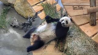 Giant Panda, Ouwehands Dierenpark, Rhenen, Netherlands - 5295
