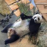 Giant Panda, Ouwehands Dierenpark, Rhenen, Netherlands - 5295 thumbnail