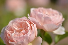 Rose ' The Shepherdess' raised in UK (naruo0720) Tags: rose englishrose theshepherdess bredbydavidaustin englishrosecollection バラ イギリスのバラ ザシェファーデス イギリスのバラコレクション オースティンのバラ