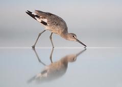 Mirror Walk (PeterBrannon) Tags: bird flight florida nature reflection shorebird tringasemipalmata water wildlife mirror symmetry willet