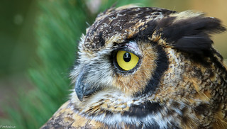 The Great Horned Owl of Ohio | Bubo virginianus