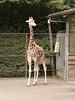 Giraffe (ericderedelijkheid) Tags: ouwehandsdierenpark rhenen dierentuin zoo netherlands