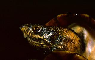 Mud Turtle (Kinosternon scorpioides)