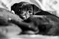 Pimenta (PEDRO LACERDA BXD U+262D) Tags: pedrolacerda canont5 cinquentinha dog perro cão cachorro filhote pet puppy cute
