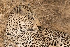 Safari-151 (Davey6585) Tags: travel traveling world southafrica africa safari tydonafricansafaris tydonsafaris tydon sabisands sabisandsprivategamereserve sabisandsgamereserve pantherapardus leopard africanleopard cat bigcat bigfive big5 animal animals wildlife wildanimals