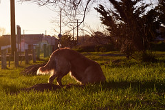 Almost in China! (luenreta) Tags: dog fauna mascota sunset pozo cavar hole 7dwf animal smile sunday smileonsaturday catchthesun