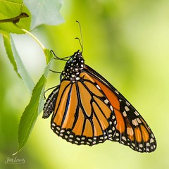 Monarch Butterfly (jklewis4) Tags: eastgrandrapids michigan nature waterfrontpark summer