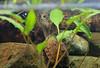 IMG_9783 (Laurent Lebois ©) Tags: laurentlebois france reptile rettile reptil рептилия tortue turtle tortoise tortuga tartaruga schildkröte черепаха chelonia sternotherus minor terrariophilie razorbackmuskturtle cinosterne