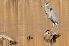 Great Blue Heron (Ardea herodias) (s_uddin59) Tags: greatblueheron heron ardea herodias ardeaherodias bosquedelapache bosquedelapachenwr sanantonio socorro newmexico bird nature water golden habitat marsh