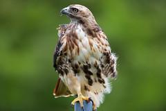 _M4_7852.jpg (rdelonga) Tags: buteojamaicensis redtailedhawk