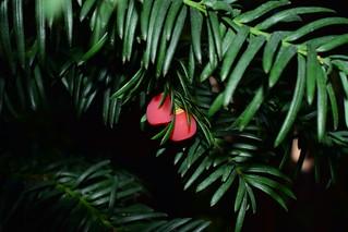 English yew (Taxus baccata) , Oбиконовен Тис DSC_0478 UNEDITED