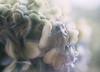 Hydrangea dream (V Photography and Art) Tags: hydrangea cool blue purple aqua close
