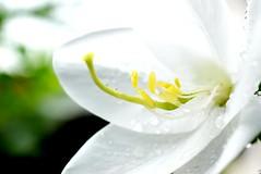 Flower of Monsoon. (SHAN 1973) Tags: monsoon d5300 nikon white garden