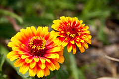 Zowie Yellow Flame - Zinnia (Robert F. Carter Travels) Tags: boktower boktowergardens florida flowers lakewales flower green orange red