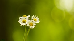 Quatuor (YᗩSᗰIᘉᗴ HᗴᘉS +8 000 000 thx❀) Tags: quatuor four quatre daisy daisies flowers flower flora green nature macro hensyasmine
