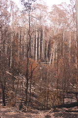 Fire damage along Whittlesea-Yea Road, Wallaby Creek Catchment entrance; Monday, 16 March, 2009 (Yarra Plenty Regional Library Local History) Tags: kinglake national park whittleseayea road wallaby creek catchment bushfires dickinson collection victorian fire damage black saturday 2009 blacksaturdaybushfires2009 dickinsoncollection firedamage kinglakenationalpark victorianbushfires wallabycreekcatchment whittleseayearoad