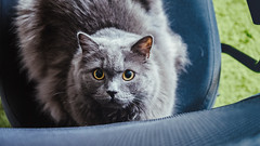 11.09.2017 (Fregoli Cotard) Tags: freckols cat kitty greykitty greycat funnycat fluffykitty fluffycat dailyjournal dailyphotography dailyproject dailyphoto dailyphotograph dailychallenge everyday everydayphoto everydayphotography everydayjournal aphotoeveryday 365everyday 365daily 365 365dailyproject 365dailyphoto 365dailyphotography 365project 365photoproject 365photography 365photos 365photochallenge 365challenge photodiary photojournal photographicaljournal visualjournal visualdiary catplay 254365 254of365