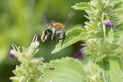 Busybody (J. E. Foster) Tags: caribbean nikond7100 sigma150500mmf563dgoshsm sumeriatrace trinidadandtobago animal insetc macro macrophotography nature wildlife bee