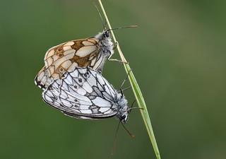 Marbled Whites (Melanargia galathea)
