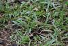 Green Vine Snake - Oxybelis fulgidus - Coclé, Panama - June 17, 2017 (mango verde) Tags: greenvinesnake oxybelisfulgidus colubridae oxybelis fulgidus vinesnake antonvalley elvalledeantón caminoalasminas coclé panama mangoverde