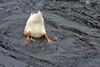 Dabbling (iansand) Tags: warriewood bird dabbling goose