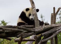 Panda playing hide & seek (Stijn Daniels) Tags: panda giant zoo tiergarten pairi daiza canon rebel 600d animal cute 70200f4l