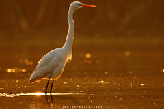Great Egret (Jawad_Ahmad) Tags: nature naturephotographer naturephotography beautyofnature beautiful morning sunrise sunset goldenlight bokeh greategret birds birdwatcher birdphotography flicker pakistan wildlifephotography wildlife wildbird jawadsphotography sialkot