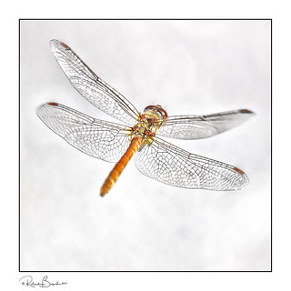 On a dragonfly's wings - dragonfly in flight.