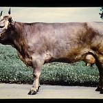 Swiss Brown = 世界の牛 スイス・ブラウン(雌) thumbnail