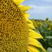 Sonnenblumen III