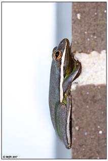 (Not so green) Green Tree Frog -Explored- DSC_4025