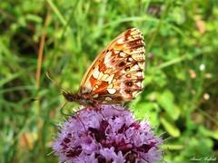 Butterfly 1427 (+780000 views!) Tags: butterfly borboleta farfalla mariposa papillon schmetterling فراشة