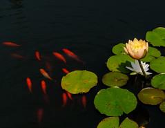 Waterlily & fish (1 of 1) (vern Ri) Tags: nybg waterlily fish yellow gold orange flower bloom fleur fiori flora