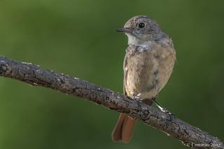 Redstart (Juvenile).