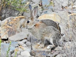 Coelho-bravo // Wild Rabbit (Oryctolagus cuniculus subsp. algirus)
