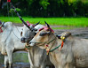 Cow racing on rice field in Mekong Delta, Vietnam (phuong.sg@gmail.com) Tags: angiang animal annual asia asian buffalo bull cattle champion chaudoc competition control cow culture delta ethnic farm farmer fast festival flooding game indochina khmer mammal mekong men motion mud myanmar ox people race racer reflection rider runner running score spectators speed sport strong traditional travel victory vietnam water wildlife winner