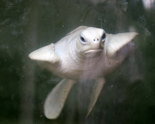 Albino Turtle (IMG_2515b)
