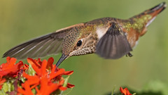Hummingbird in Flight (photosauraus rex) Tags: hummingbird rufoushummingbird selasphorusrufus vancouver bc canada outdoor inflight