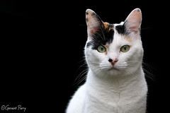 Treacle (parry101) Tags: cat cats pet pets animal animals treacle geraint parry geraintparry nikon nikond500 d500 sigma sigma105mm 105mm macro lens macrolens portrait